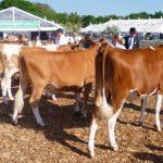 In Calf heifers Devon 13
