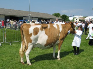 Cow in Calf