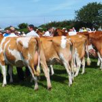 Tredinney heifers have the edge over the cows