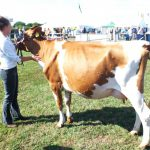 In Milk heifer
