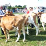"""Harry Crowter wins the Maiden Heifer class with """"Darcy"""""""