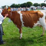 The In Milk Heifer