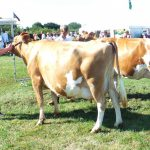 Two quality Dry Cows