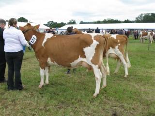 Heifer in Milk.