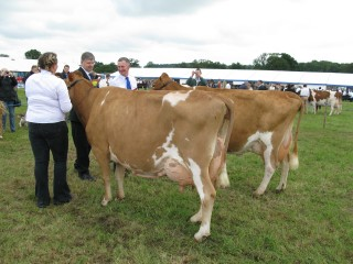 Senior Cow in milk.