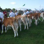 Cows in milk
